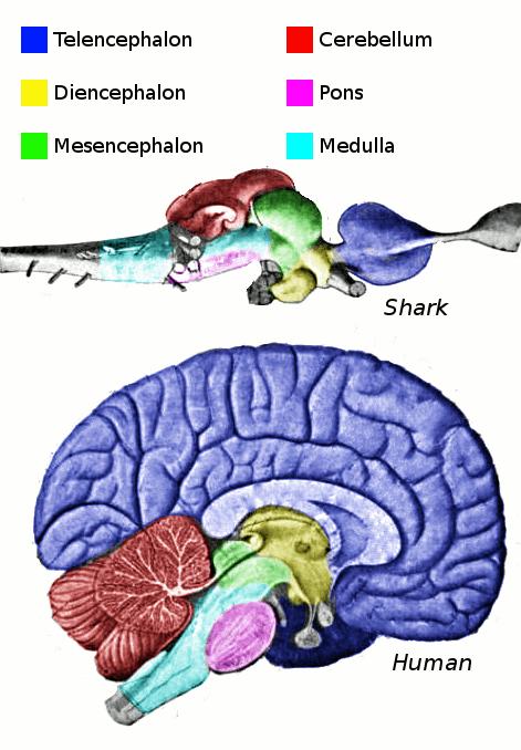 vertebrate-brain-regions